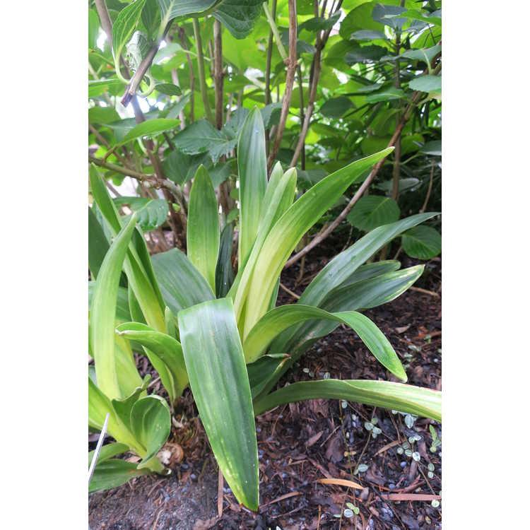 Rohdea japonica 'Kirishima'
