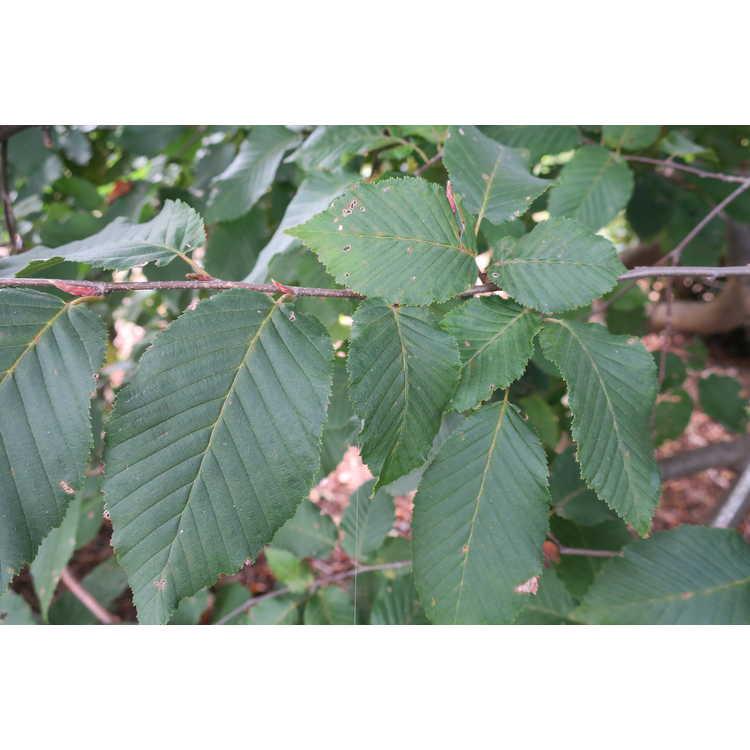 Carpinus betulus 'Dervaesii'