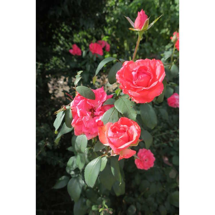 Rosa 'Radtreasure' - Tahitian Treasure grandiflora rose