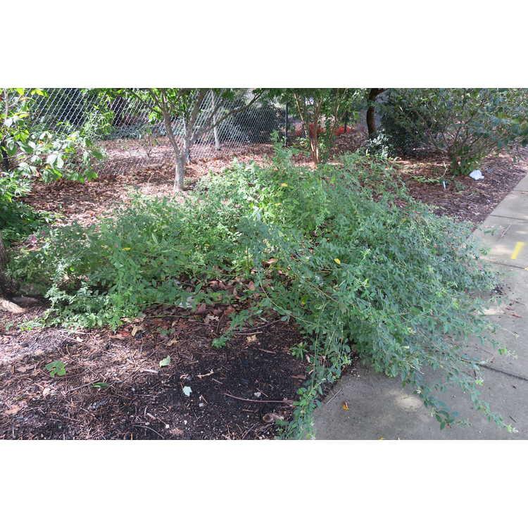 Lespedeza bicolor 'Lil' Buddy' - compact shrub lespedeza