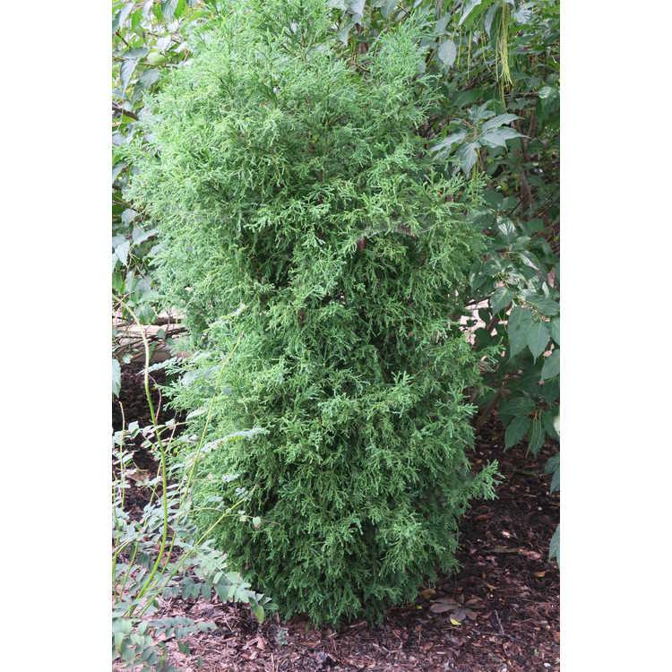 Cryptomeria japonica 'Nana Albospica' - variegated Japanese-cedar