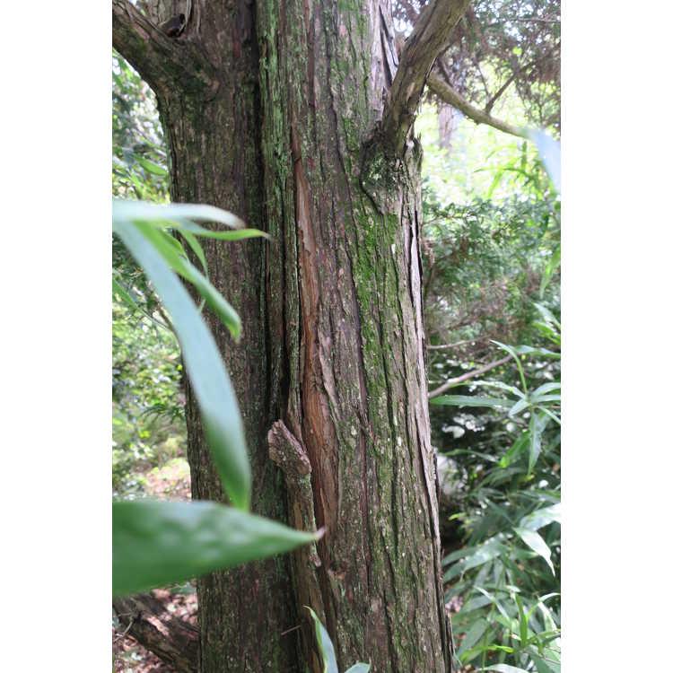 Chamaecyparis pisifera 'Squarrosa Intermedia' - moss Sawara falsecypress