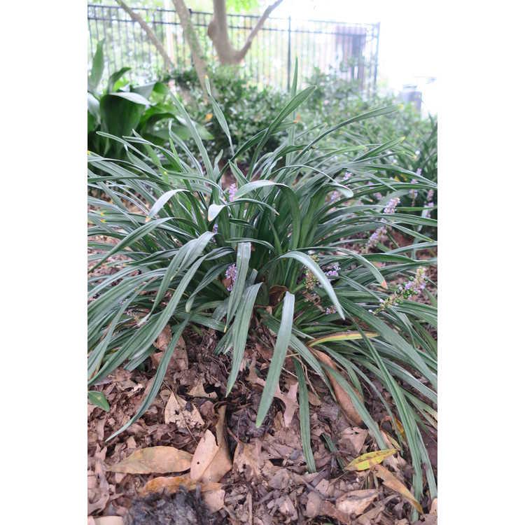 Liriope muscari 'Blue Giant' - clumping monkey-grass