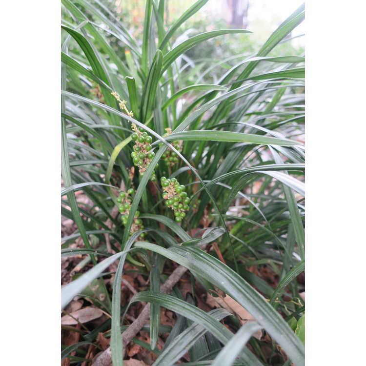 Liriope muscari - clumping monkey-grass