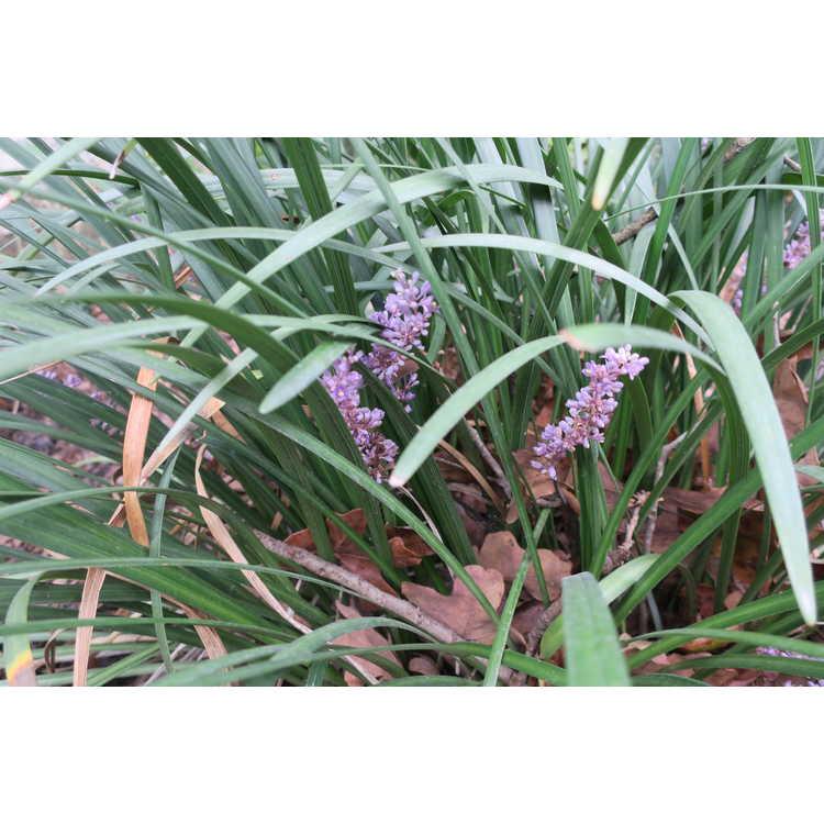 Liriope muscari 'Lynn Lowrey' - clumping monkey-grass