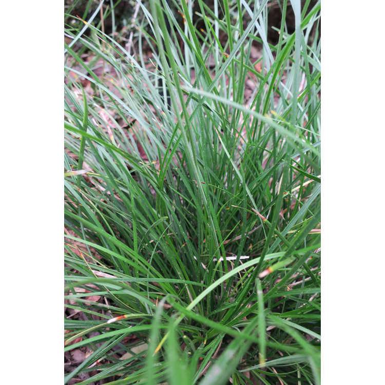 Ophiopogon jaburan 'Tuff Tuft Lavender' - mondo grass