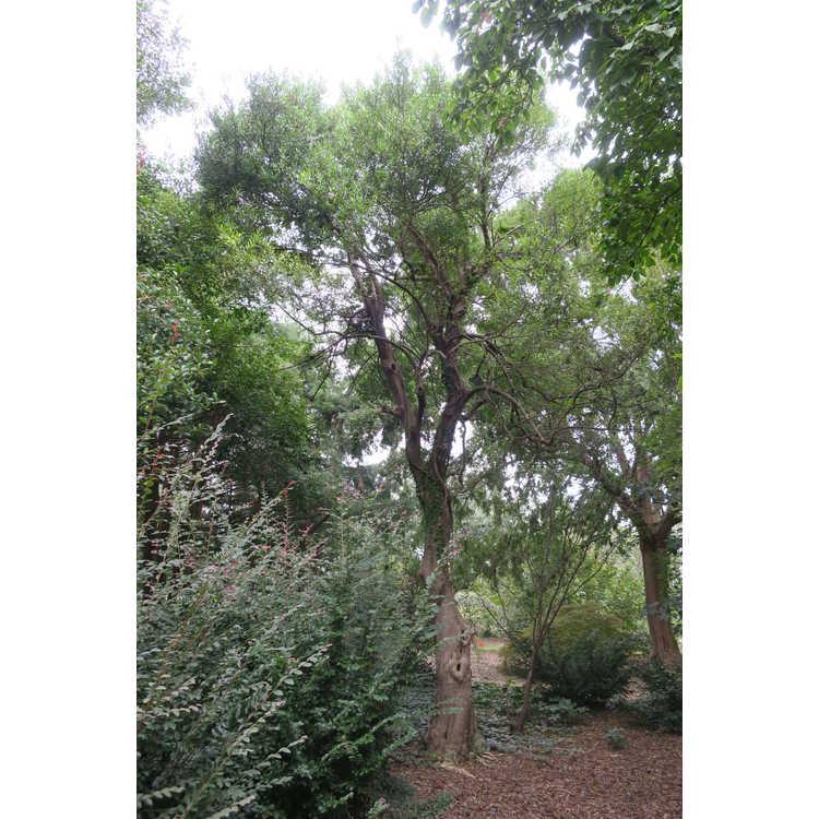 Ilex cassine var. angustifolia - narrow-leaf dahoon holly