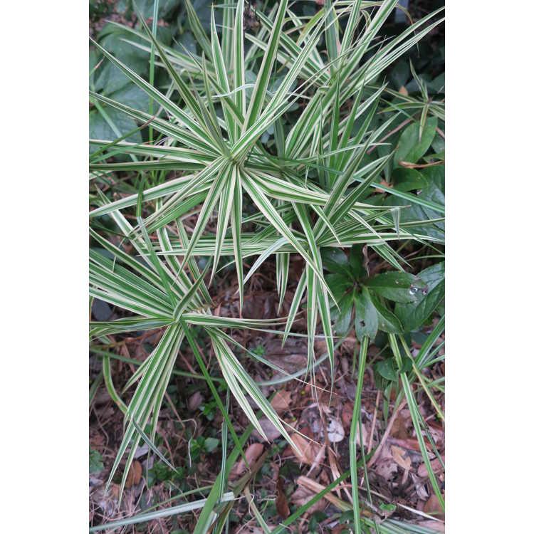 Carex phyllocephala 'Sparkler' - carnation grass