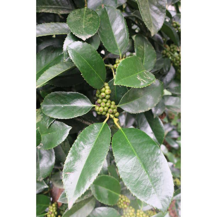 Ilex latifolia 'Gulino Gardens'
