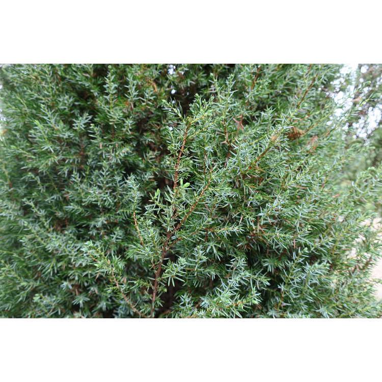 Juniperus communis 'Gold Totem Pole' - gold columnar common juniper
