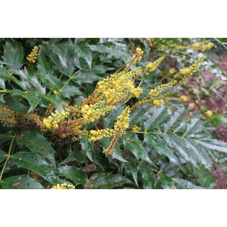 Mahonia bodinieri - Bodinier's grapeholly