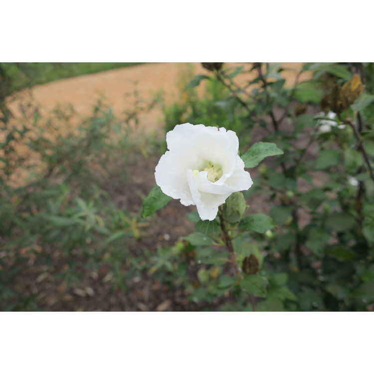 Hibiscus syriacus 'Buddha Belly' - rose-of-Sharon