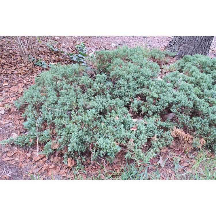 Juniperus squamata 'Blue Spreader' - flaky juniper