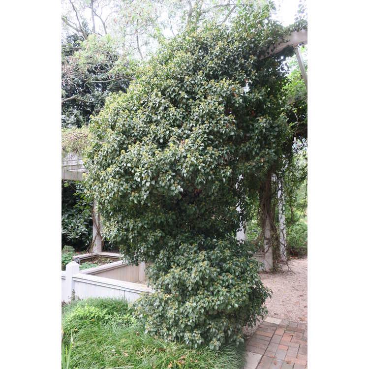 Hedera rhombea 'Korean Dwarf' - Japanese ivy