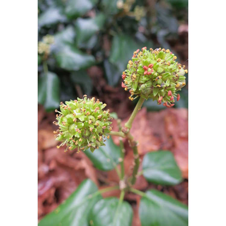Hedera colchica (adult form) - Colchis ivy