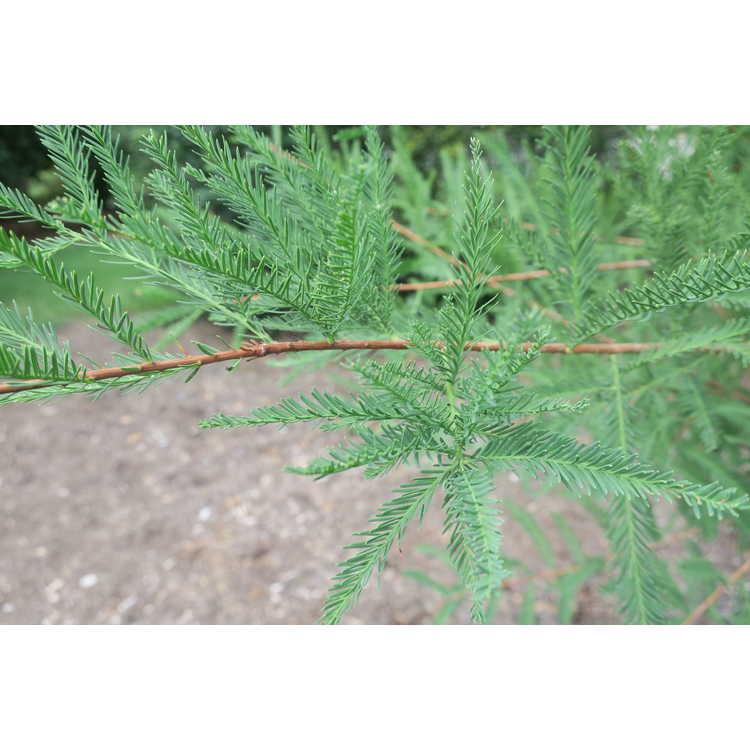 Taxodium