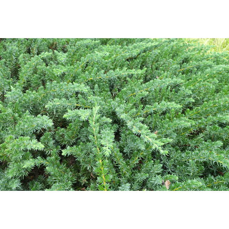 Juniperus conferta 'Emerald Sea'