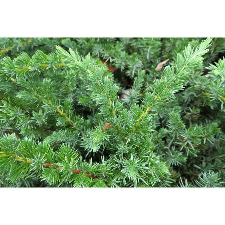Juniperus conferta 'Emerald Sea' - shore juniper