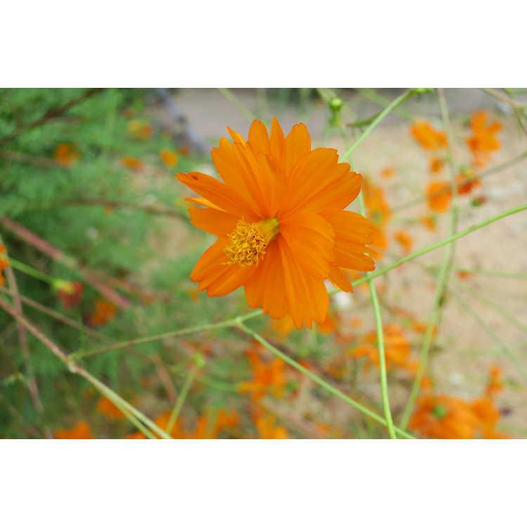 Cosmos sulphureus - orange cosmos