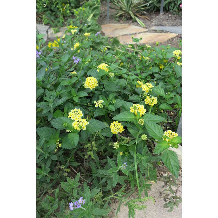 Lantana 'Chapel Hill Yellow' - lantana