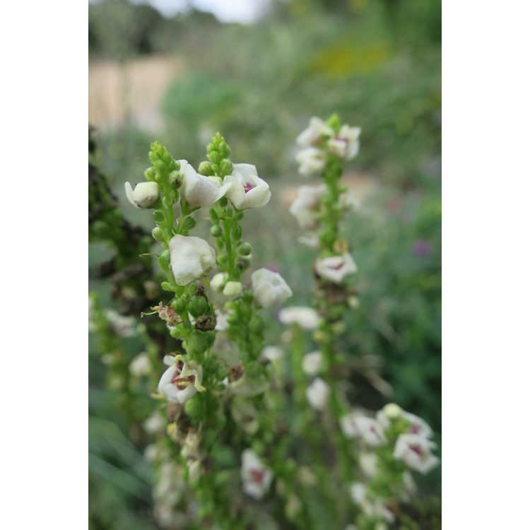 Verbascum chaixii - nettle-leaved mullein