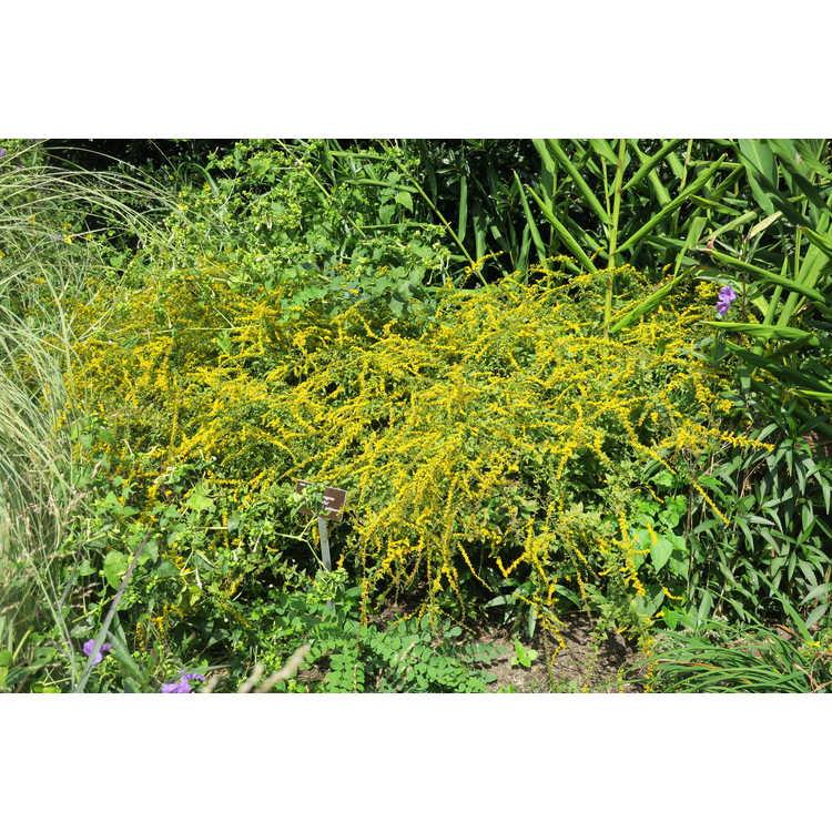 Solidago rugosa 'Fireworks' - dwarf rough-leaf goldenrod