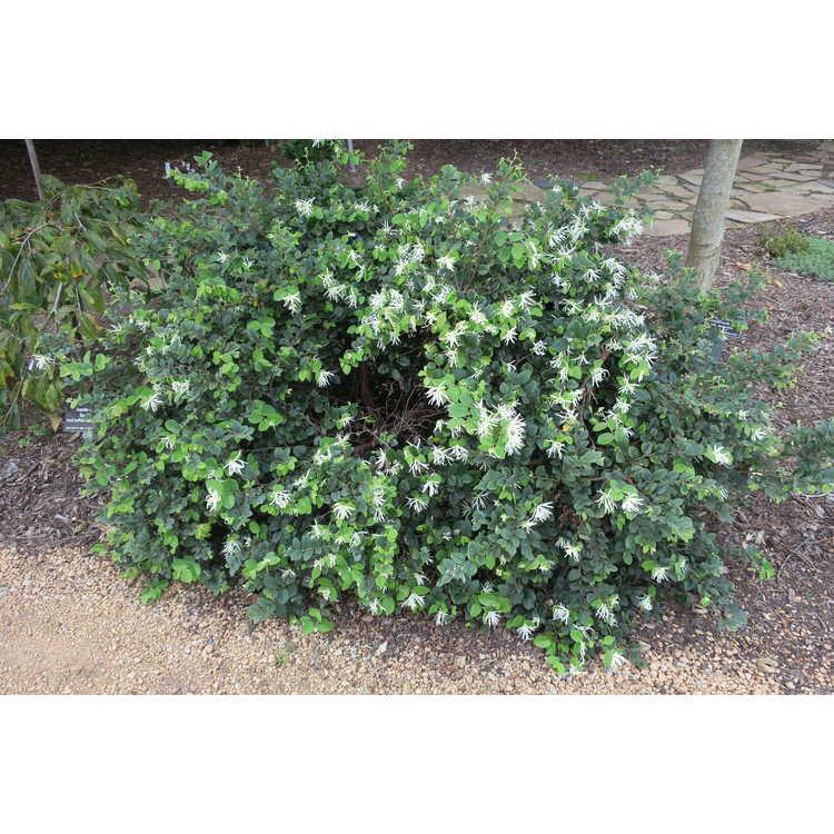 Loropetalum chinense 'Shang-White'