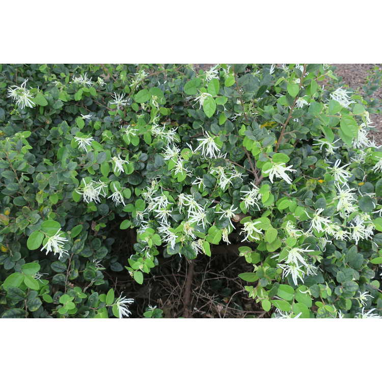 Loropetalum chinense 'Shang-White'