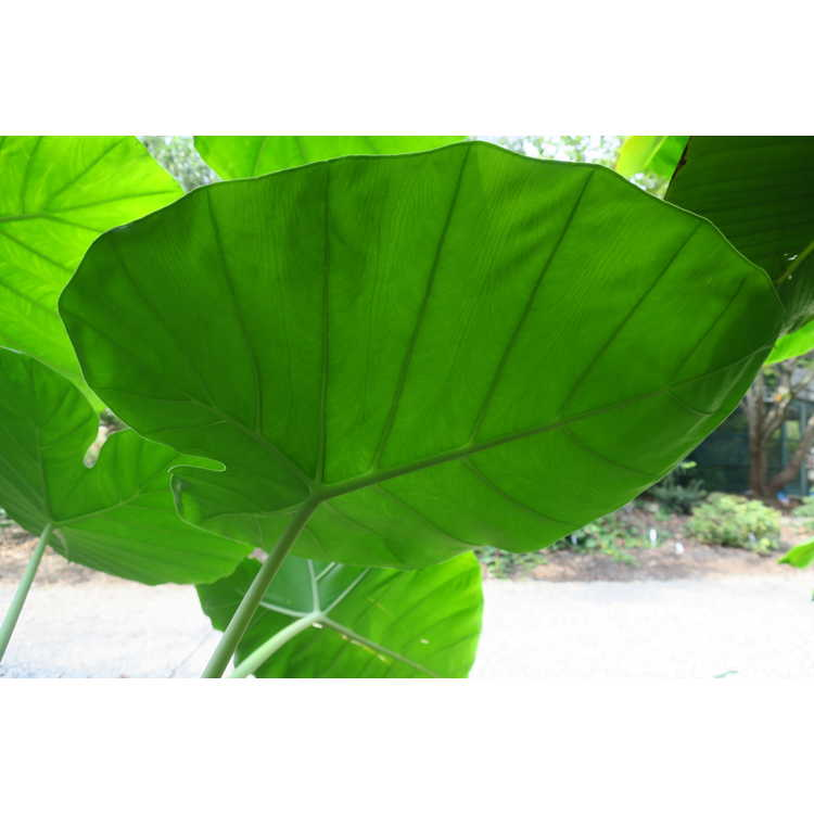 Colocasia gigantea 'Laosy Giant'