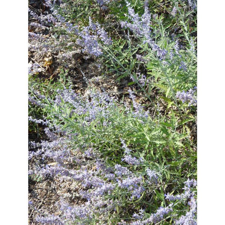 Perovskia atriplicifolia Lisslitt Lacey Blue