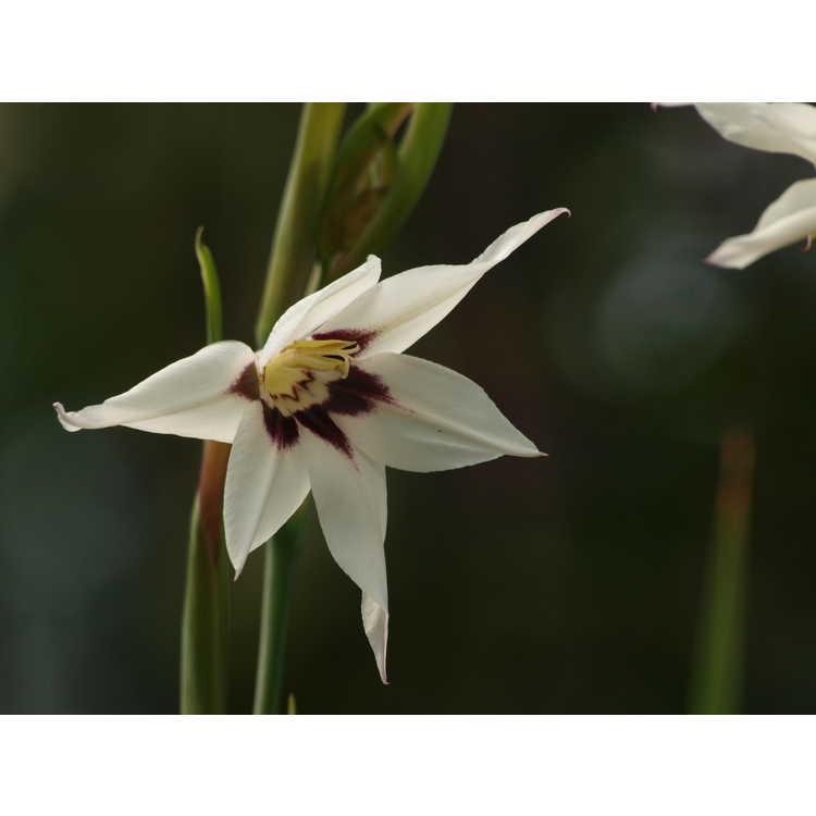 Gladiolus murielae - Abyssinian gladiolus