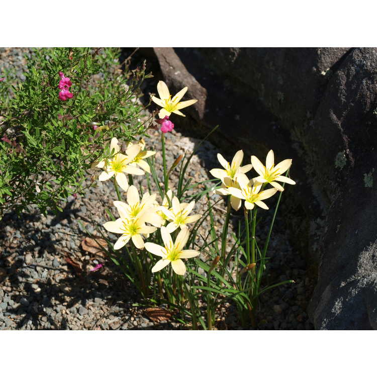 Zephyranthes (ex. 'Apricot Queen')