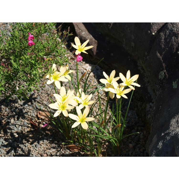 Zephyranthes ex. Apricot Queen