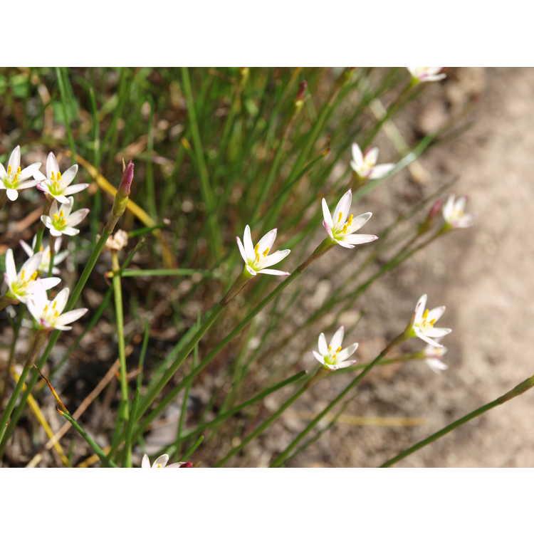 Zephyranthes minima