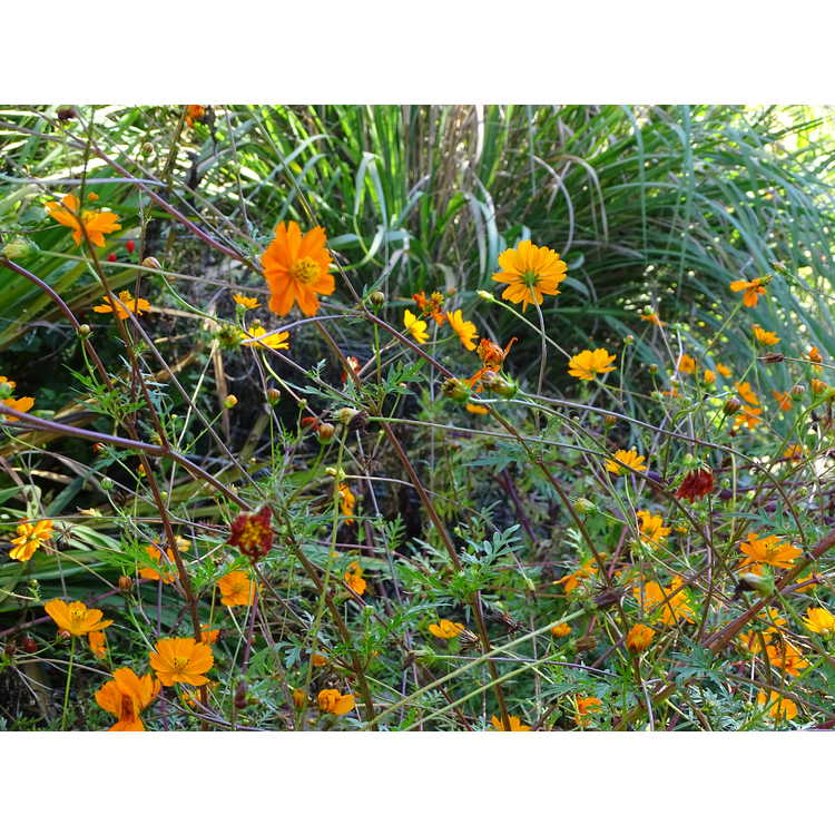 Persicaria amplexicaulis 'Firetail'