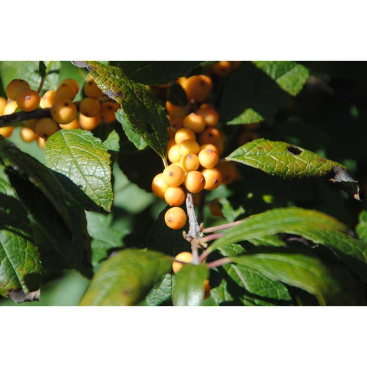 Ilex verticillata 'Winter Gold'