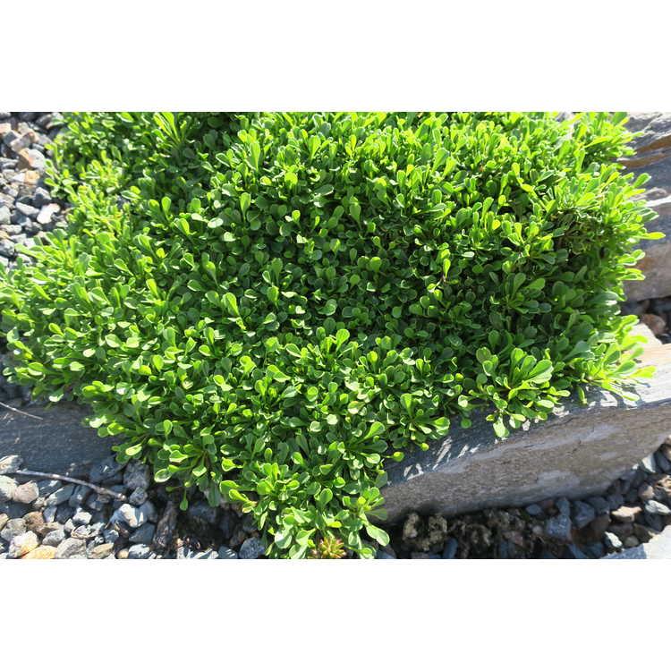 Globularia pseudo-nana