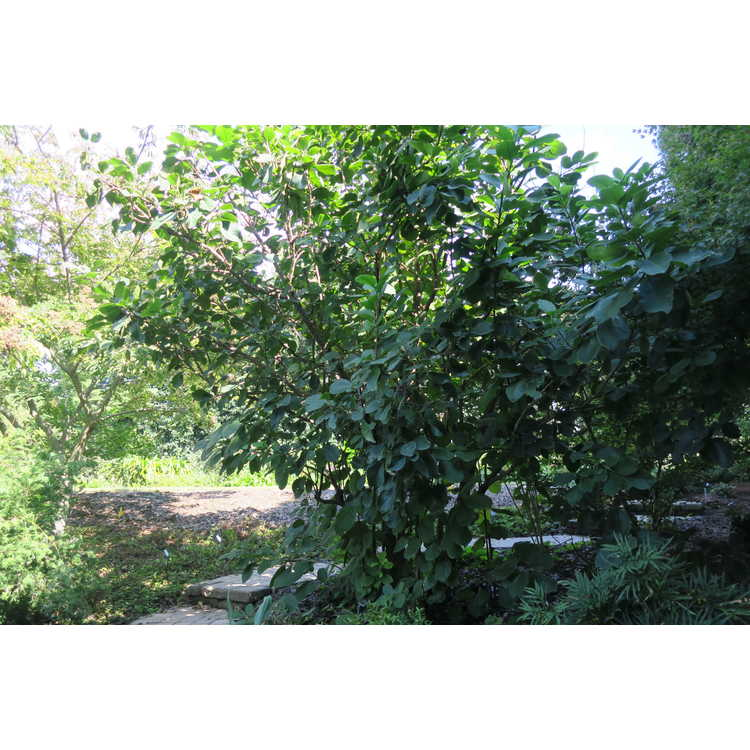 Ehretia dicksonii - Dickson's koda tree