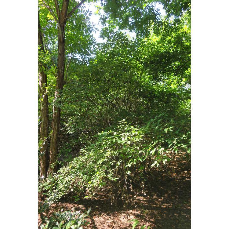 Cornus foemina - swamp dogwood