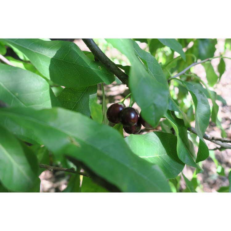 Sideroxylon lycioides - buckthorn bully