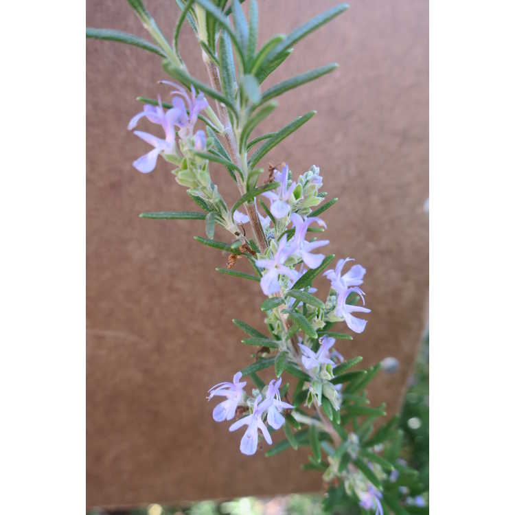 Rosmarinus officinalis 'Barbeque' - upright rosemary