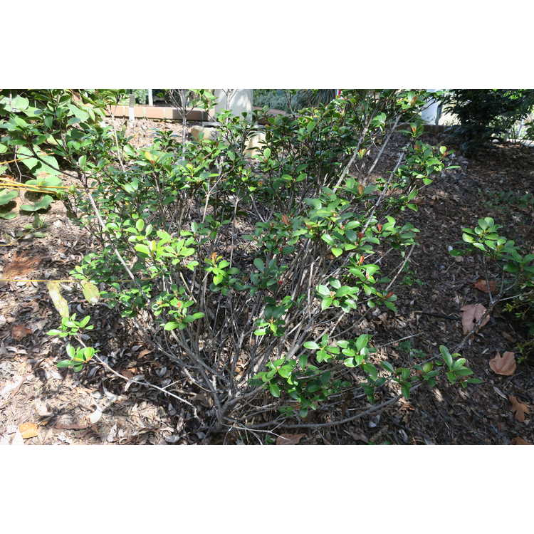 Rhaphiolepis indica 'Spg-3-003' - Redbird Indian hawthorn