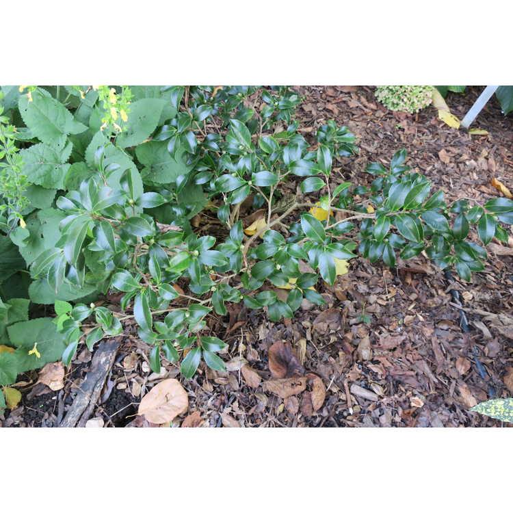 Camellia sasanqua 'Tdn116'