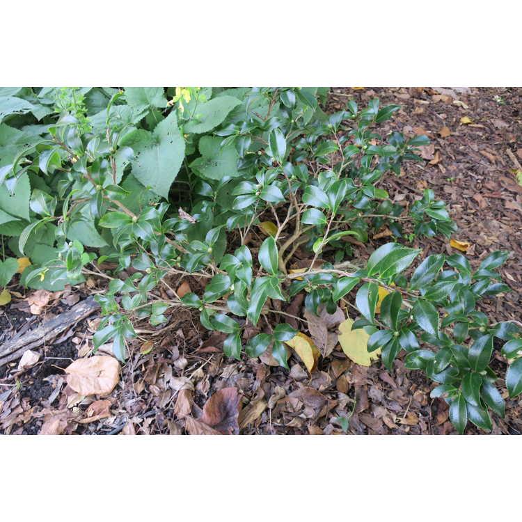 Camellia sasanqua 'Tdn116' - Bella Rouge sasanqua camellia