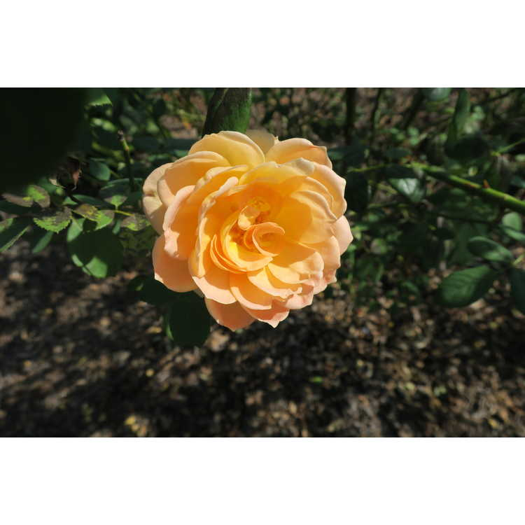 Rosa 'Ausnyson' - Lady of Shalott shrub rose