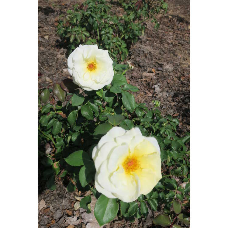 Rosa 'Baiage' - Easy Elegance High Voltage shrub rose