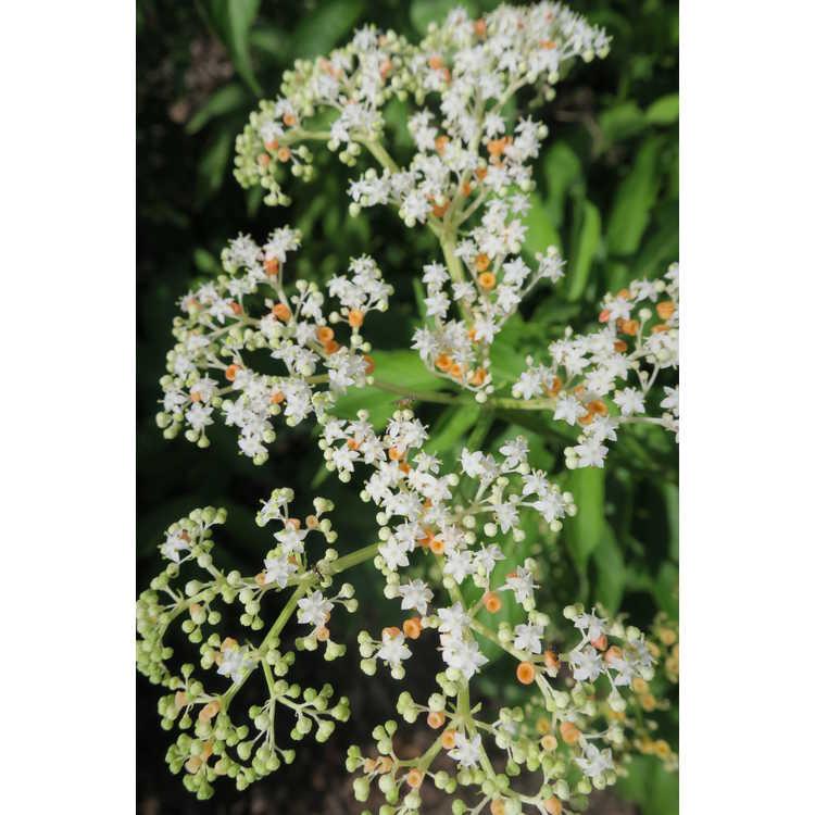 Sambucus javanica - Formosan elderberry