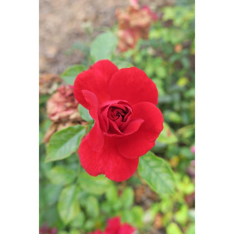 Rosa 'Baitown'