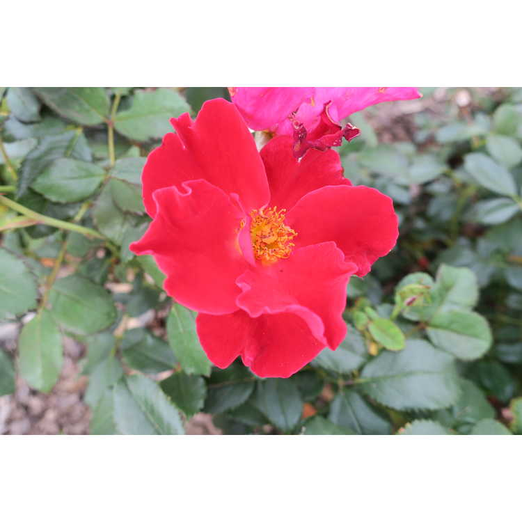 Rosa 'Miracle on the Hudson' - rose
