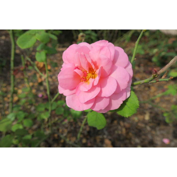 Rosa 'Ausmerchant'